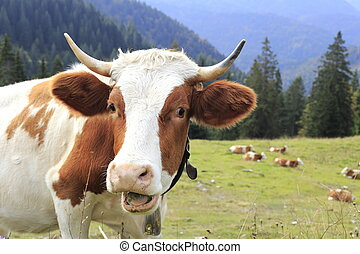 funny looking cow in the bavarian alps