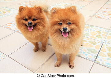 close up face of two male pomeranian dog standing and...