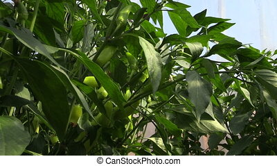 chili pepper garden - green chili peppers growing in the...
