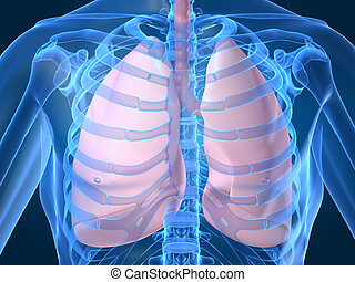 human lung - 3d rendered anatomy illustration of human lung