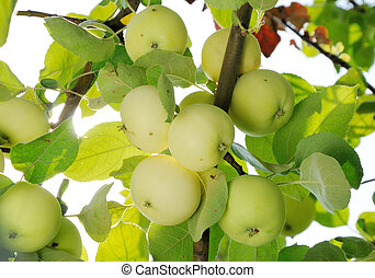 grope of white apples on the branch - grope of white apples...
