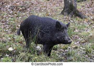 Boar in a forest
