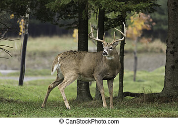 Male deer in the woods
