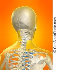 skeletal neck