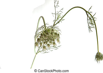 Queen Annes Lace isolated on a white background.