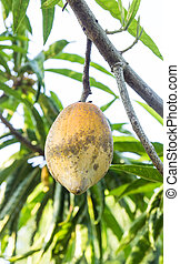 Canistel or Tiesa or egg fruit Yellow Sapote (Pouteria...