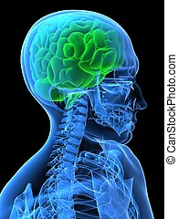 green brain - 3d rendered x-ray illustration of human head...