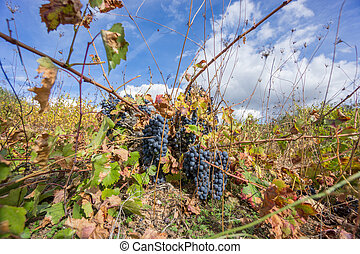 Neglected Vineyard over blue sky. Ripe grapes in fall. -...
