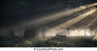 Red deer stag illuminated by stunning sun beams through...