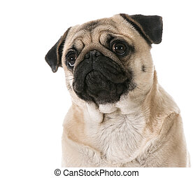 pug looking up isolated on white background