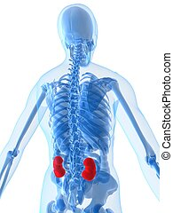 highlighted kidneys - 3d rendered illustration of a human...