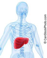 human liver - 3d rendered illustration of a human skeleton...