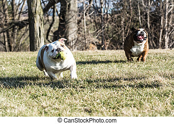 two dogs playing catch - two english bulldogs playing catch...