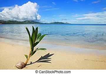 Palm tree sprout on a tropical beach, Nananu-i-Ra island,...