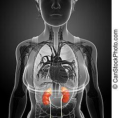 Female kidney artwork