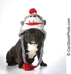 dog wearing hat - french bulldog wearing winter hat