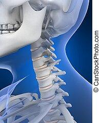female neck - 3d rendered illustration of a female skeletal...