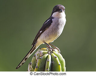 Fiscal Shrike Lanius collaris sitting on a cactus in South...