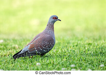 Speckled Pigeon (Columba guinea) sitting on a lawn in South...