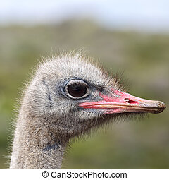 Ostrich Struthio camelus - Close up of an Ostrich Struthio...