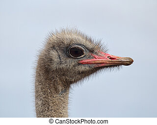 Ostrich (Struthio camelus) - Close up of an Ostrich...