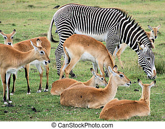 Zebra and deer