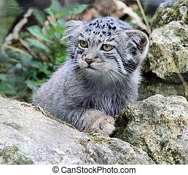 Pallas Kitten 2