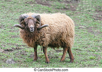 sheep ram - Beautiful rare breed of sheep ram Skudde (Ovis...