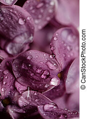 Purple lilac - Beautiful macro photo of the beautiful purple...