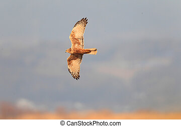 Eastern marsh harrier (Circus spilonotus) flying in japan