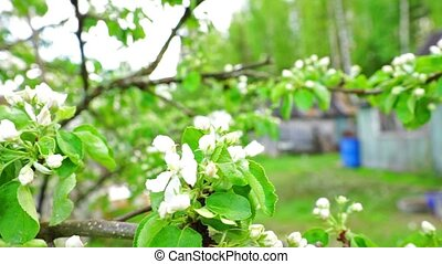 Apple twig with white flowers - Blossoming twig of apple...