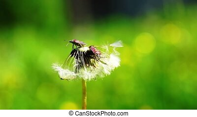 Close up view at dandelion and two bugs - Two bugs playing...