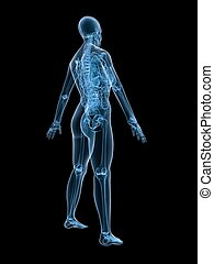 female anatomy - 3d rendered illustration of a female...