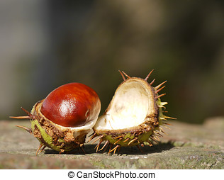 Horse chestnut on wall - Open horse chestnut resting on...