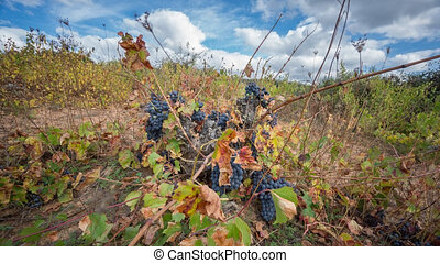 Time Lapse of neglected vineyard with bunch of grapes...