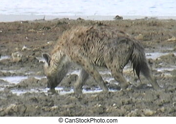 Hyena hunting - A Hyena walking in mud looking for food in...