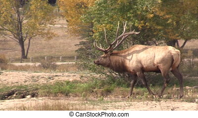 Bull Elk in Rut - a bull elk in the fall rut