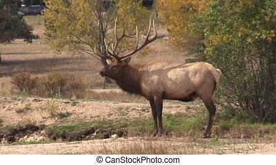 Bull Elk in Rut - a nice bull elk during the fall rut