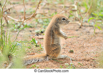 Cape Ground Squirrel Xerus Inauris Photo taken at Mata Mata...