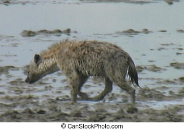 Lone Hyena - A Hyena walking in mud looking for food in the...
