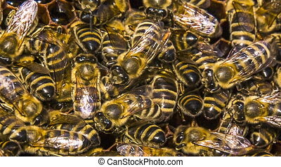 Bees Eating Honey In Honeycomb - Close-up shot of a group of...