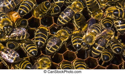 Honey Bees Eating In Honeycomb - Close-up shot of a group of...