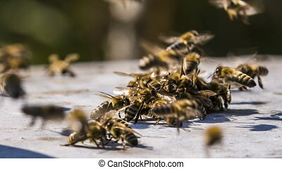 Bees Chasing Stranger Time lapse - Close-up shot of a group...