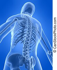 skeletal back - 3d rendered illustration of a human skeleton...