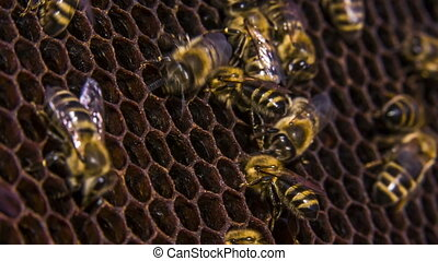 Honeycomb: Bees Eating Honey. Time lapse - Close-up shot of...
