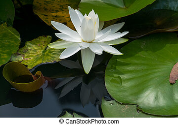 White water lily flowers