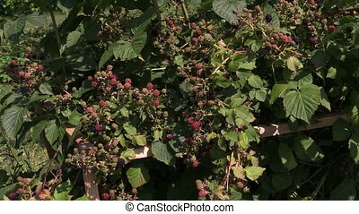 blackberry bush - Dewberry bush twigs covered with black...