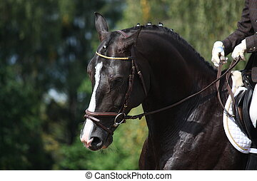 Beautiful brown sport horse portrait during dressage...