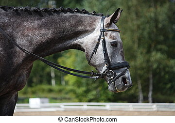 Gray sport horse portrait during dressage competition