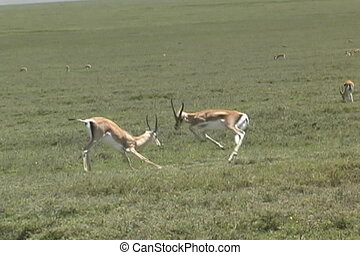 Gazelles fighting - Two Gazelles fighting on the Serengeti...